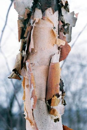 Love birch trees - via self-infatuated