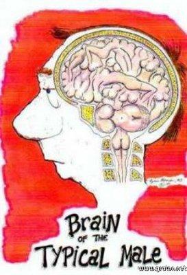 Cerveau homme