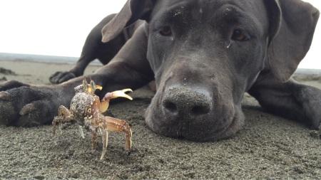 Chien et crabe