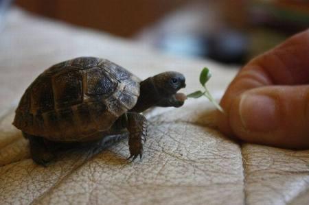 Mini Turtle via pixshark