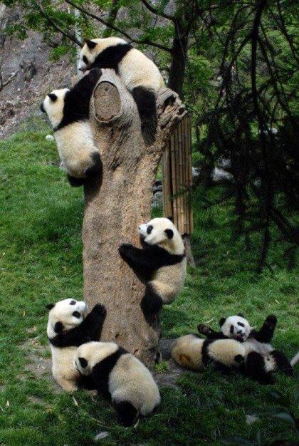 Pandas by pporessarting via imgur