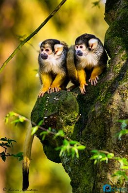 Squirrel monkeys relaxing