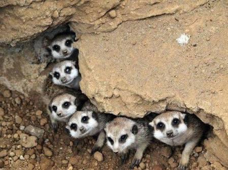 meerkats-family