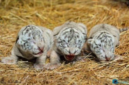 cute-white-bengal-tiger-cub