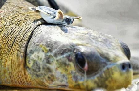 baby-tortue