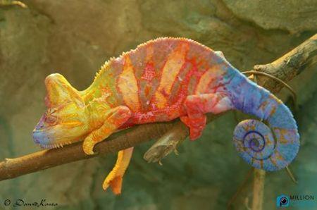 multicolored-chameleon